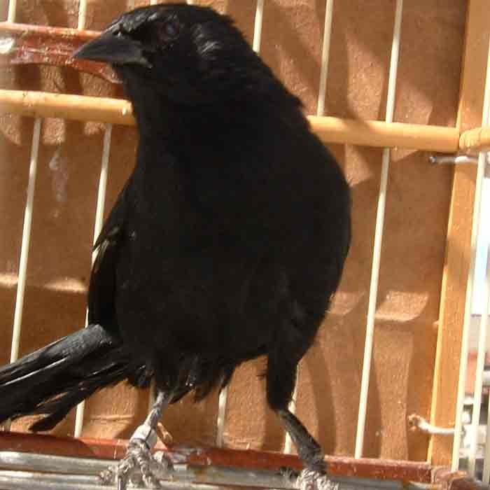 Pássaro preto do brejo ou Pintassilgo do brejo.